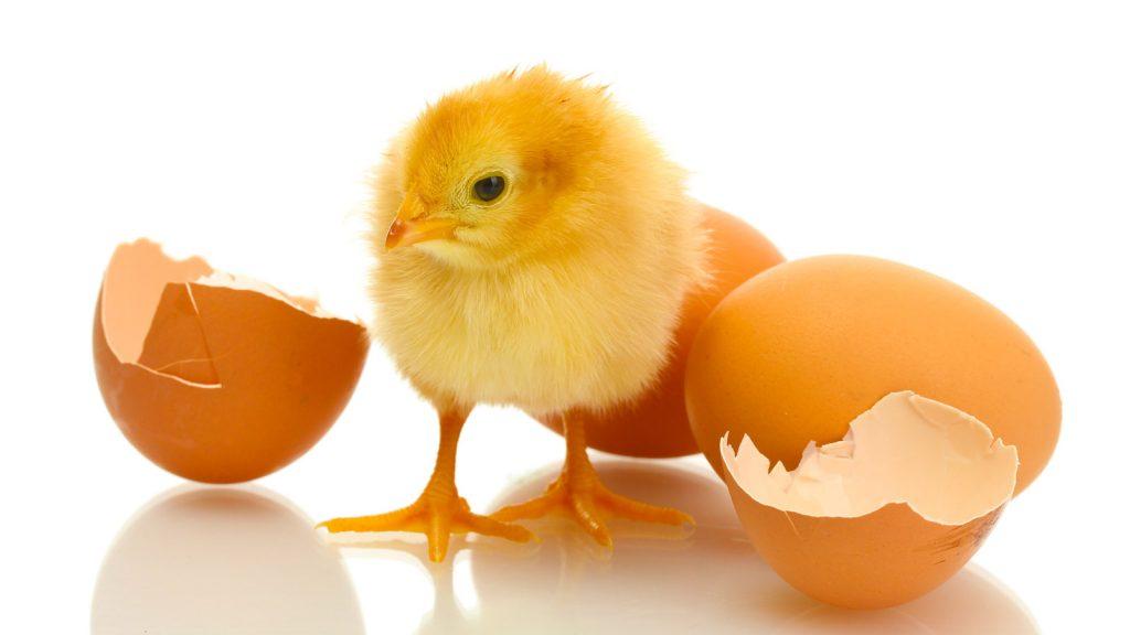 Ce trebuie sa stii despre incubatie si clocitoarea de oua?