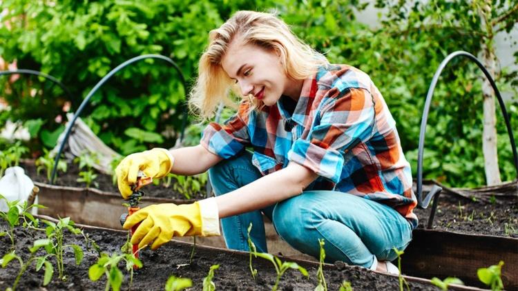 Cand plantam rasaduri de ardei?
